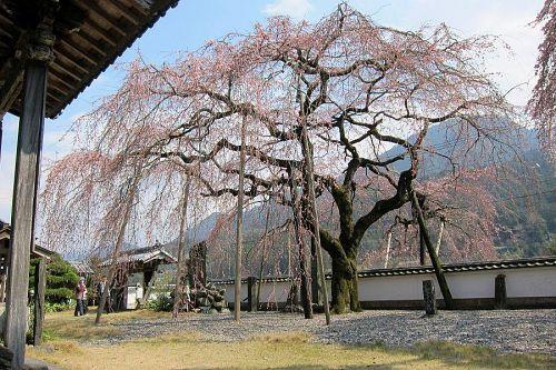 東の枝垂れ。すこし遅れるので、逆にコントラストが楽しめます。(2011年3月30日13:43撮影)