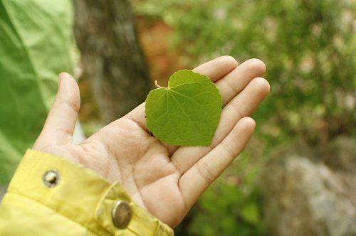 ハートの形のカツラの葉。ご主人の愛がたっぷりつまっています。