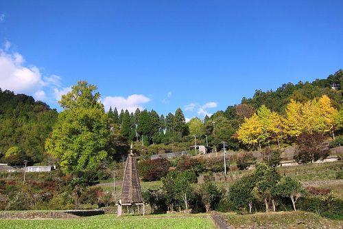右側にある数本の小さな銀杏が十日ほど先に色づきます。(2011.11.21_08:59)