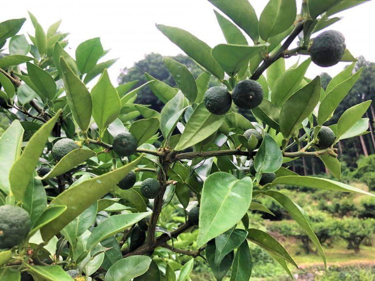 """この夏、神山で """"すだち""""の収穫アルバイトをしてみませんか?"""