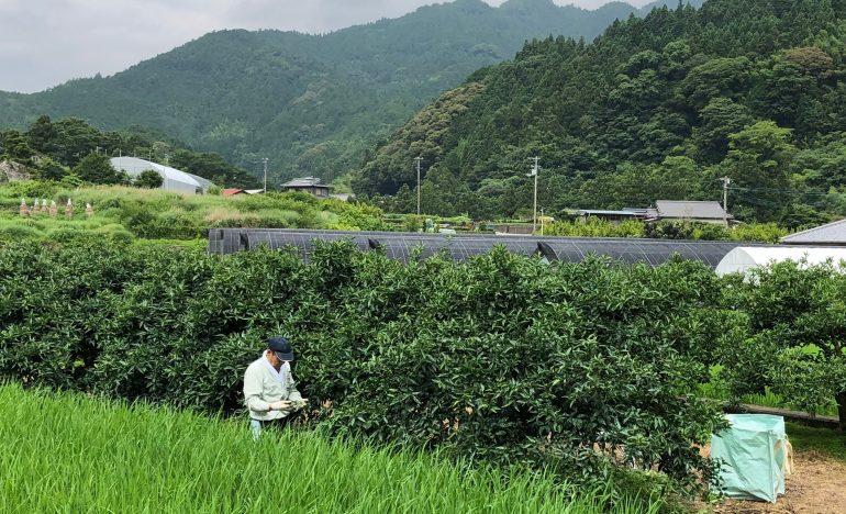 神山で働く|「すだち」の収穫をしませんか?