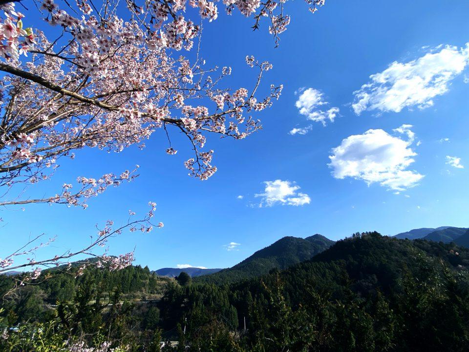 神領の桜1