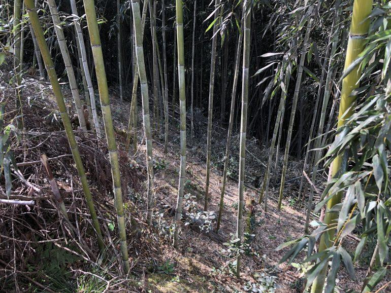 放置竹林の手入れ「竹はしぶとい」