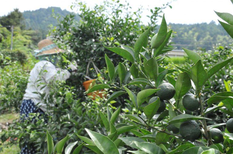 日本一のすだちの産地を支える援農者を募集します